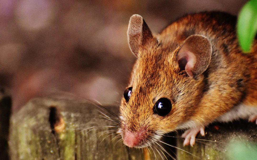 Rotter og mus skal ikke være et merkbart problem hos våre kunder. Hva gjør vi?