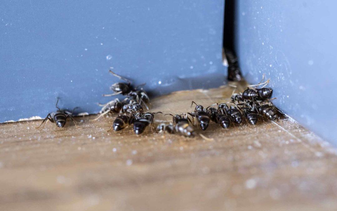 Effektiv bekjempelse av maur med åte